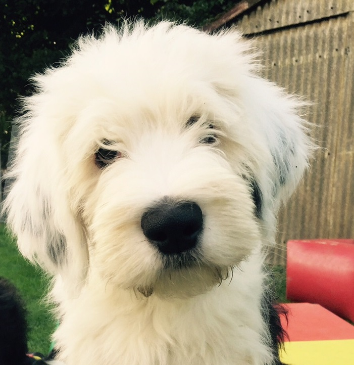 Kö-Pi`s 599 Bobtail-Old English Sheepdog seit 1979 VDH FCI